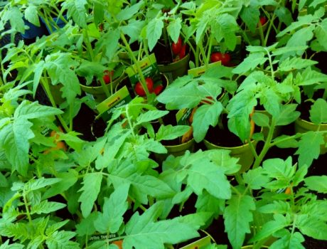 Vom Keimling zur glücklichen Tomatenpflanze