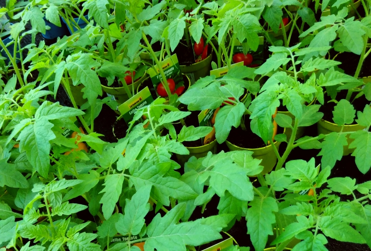 Blätter von kleinen Tomatenpflanzen